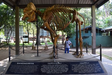 A skeleton of an elephant that was shot by villagers in the past